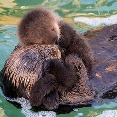 Image result for news on Rialto baby sea otter