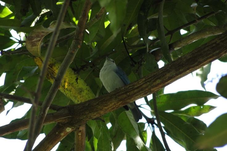 Azulejo común en un árbol en El Portal, Paraíso Natral