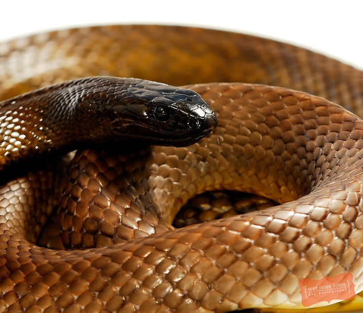 Inland Taipan Australia the world's most poisonous land snake.  Very shy and retiring, prefering to avoid confrontations but can deliver up to seven bites in a single attack.