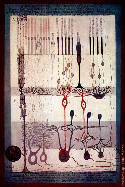 """Santiago Ramon y Cajal,""""Structure of theMammalianRetina"""", Madrid, 1900.  """"I wish I could find an event that meant as much as simple seeing""""- Theodore Roethke"""