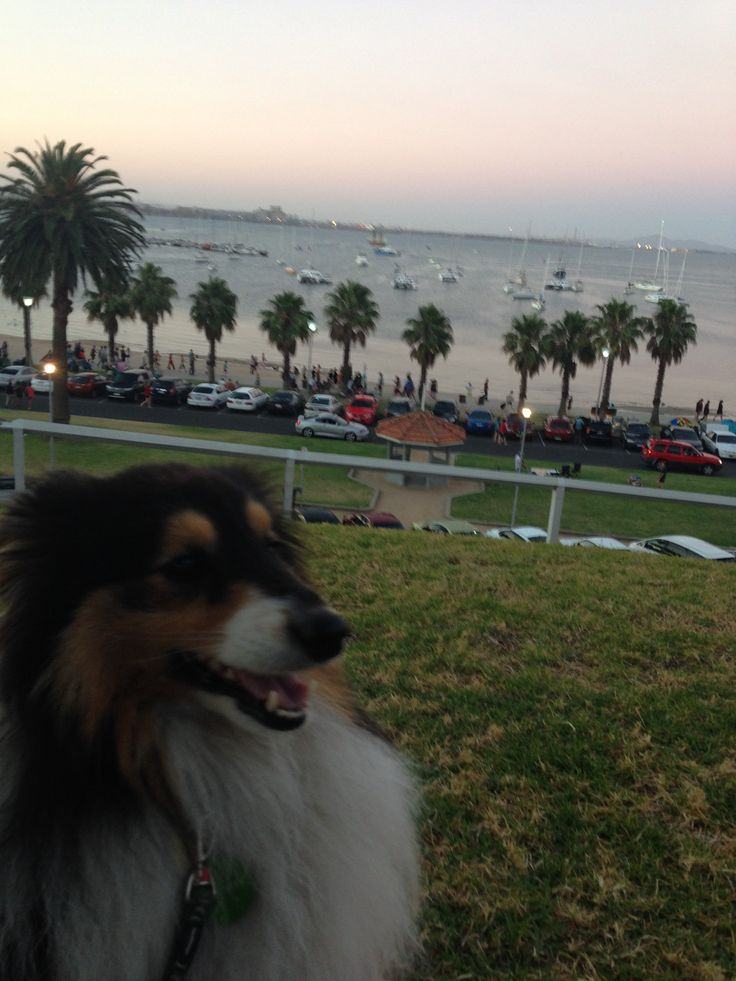 Flynn the sheltie waiting for the foreworks to begin.