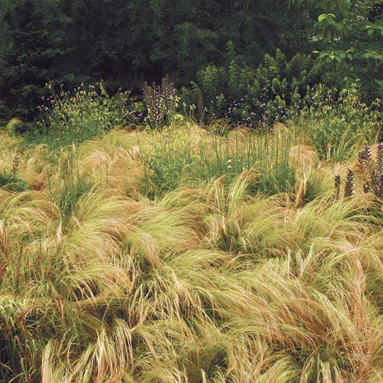 17 best images about ornamental grasses in the garden on for Ornamental feather grass