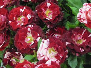 Metszés: Rózsák nyári metszése