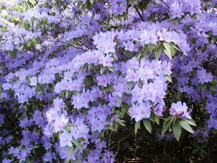 17 best images about plants we like on pinterest west for Tall evergreen shrubs