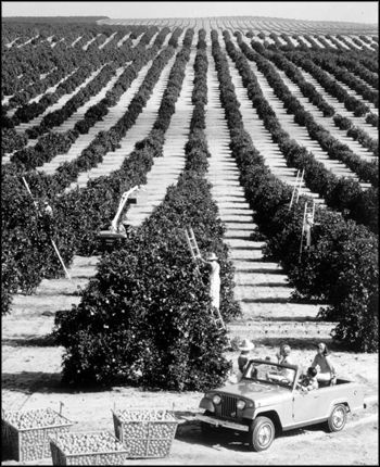 early florida pictures | orange groves, near Tampa Fl early 50's.