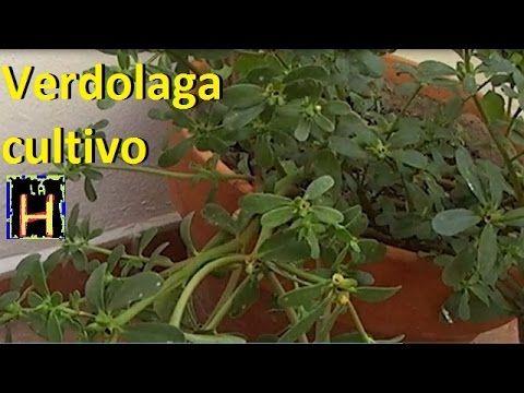 Reproducción y cultivo de verdolaga en maceta o jardín. Recetas con verdolaga. Portulaca Oleracea. - YouTube
