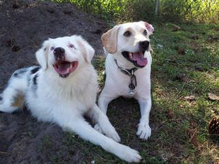 PLEASE HELP!!! Palm City, Florida (772) 223-8822  Playful, Bonded, Loving  Pair at The Humane Society of the Treasure Coast in Palm City, Florida 772) 223-8822. They Absolutely Love each Other, Jolly a Labrador, is the caretaker of Bella a blind, Australian Shepherd  http://www.hstc1.org/