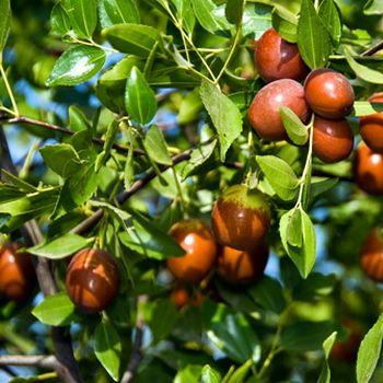 Jujubes - Fruit Trees Online from Bay Laurel Nursery