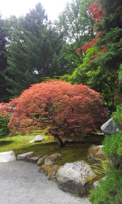 Japanese Garden, Seattle  Honestly, this looks a lot like my back yard growing up in the Seattle area.  We had two of these lace leaf maples.