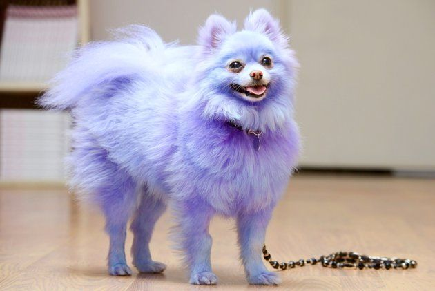 Blue Dyed Standard Poodle 1000+ images about Col...