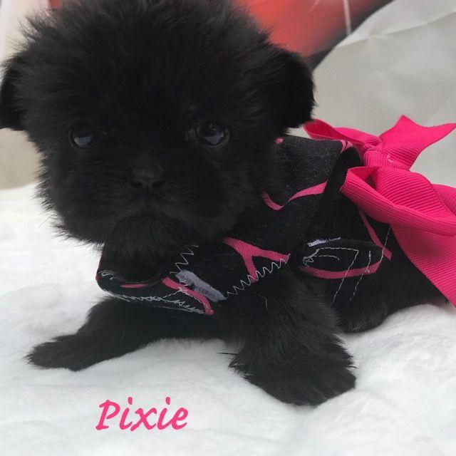 Litter of 3 Shih Tzu-Shorkie Tzu Mix puppies for sale in CUSSETA, GA. ADN-65521 on PuppyFinder.com Gender: Female. Age: 7 Weeks Old