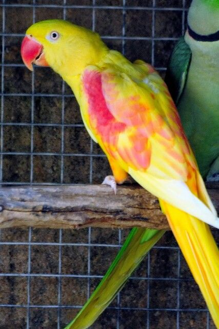 Alexander parrot for sale in bangalore dating. dragon ball z cap 59 latino dating.