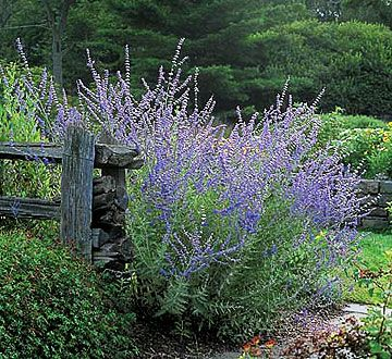 Russian Sage - EASY, reliable perrenial, tough, drought tolerant, colorful all summer, reseeds itself and BEES love it.