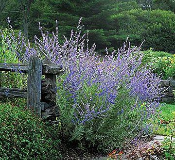 Russian SageGardens Ideas, Blue Flowers, Russian Sage, Lights Shades, Plants, Flower Beds, Gardens Design, Dry Flower, Cut Flower