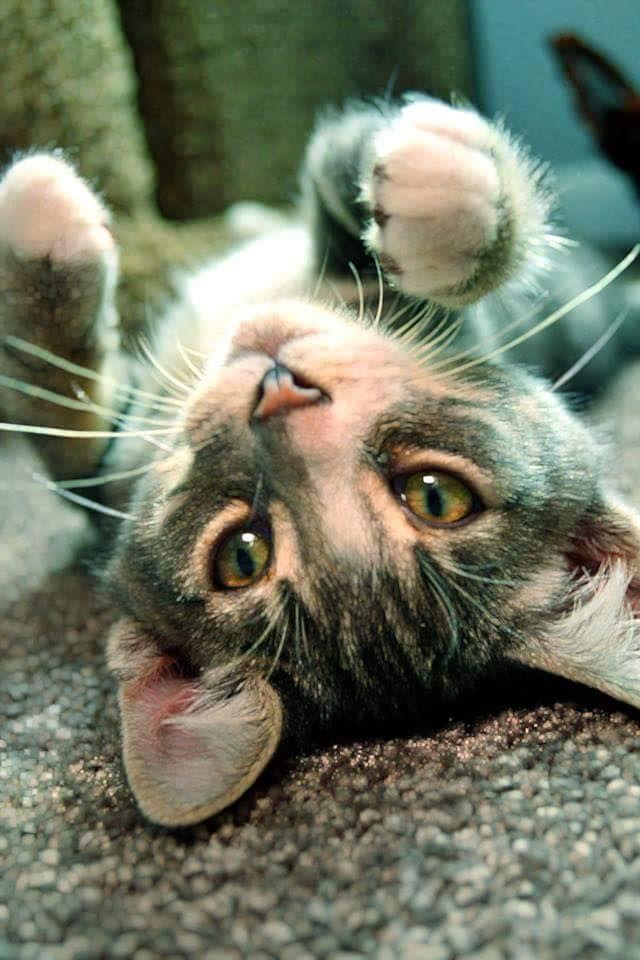 Cat Adoption Springfield Oregon