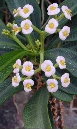 Randramboay (Euphorbia  lophogona)