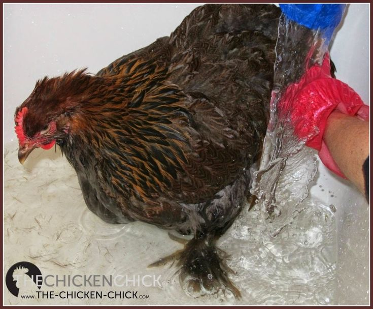 How to Care for an Injured Chicken in 2020   Chickens ...