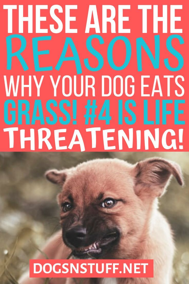 Why Do Dogs Eat Grass Top Reasons Why Your Dog Is Eating Grass Dogs Eating Grass Dog Eating Can Dogs Eat
