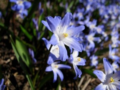 These may be finished blooming now, or still flowering, depending on how far north you are. What to do with them now? This article will give you all the information you need to keep these beauties gracing your spring garden for years to come.