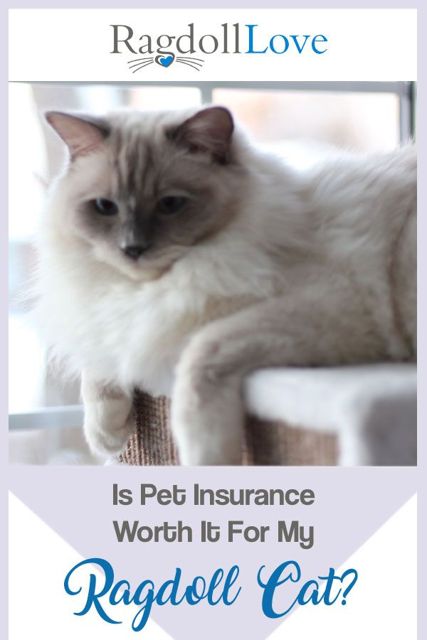 Pet Insurance For My Ragdoll Cat Is It Worth Having Cats Pet Insurance Reviews Pets