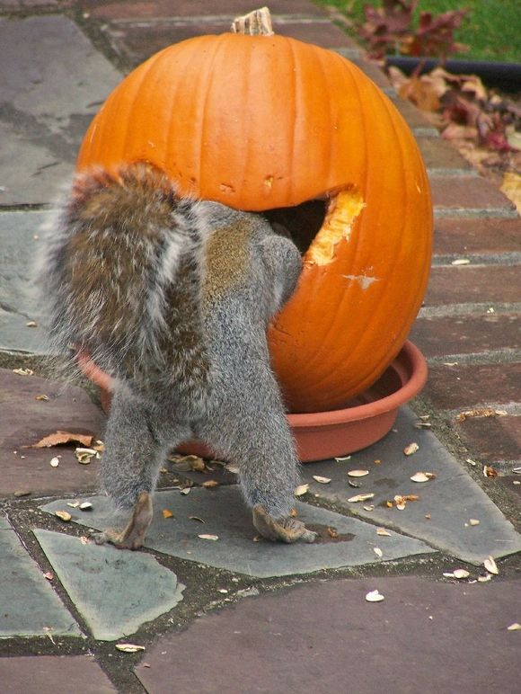 Squirrels love pumpkin.