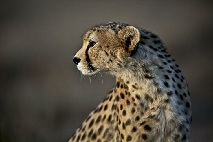 This Monday, May 26, 2014 photo, shows 7-year-old male Asiatic Cheetah, named 'Koushki,' at the Miandasht Wildlife Refuge in Jajarm, northeastern Iran. Iran is conducting a campaign to rescue the Asiatic Cheetah which has disappeared across south and central asia except fewer than 100 remaining in Iran.