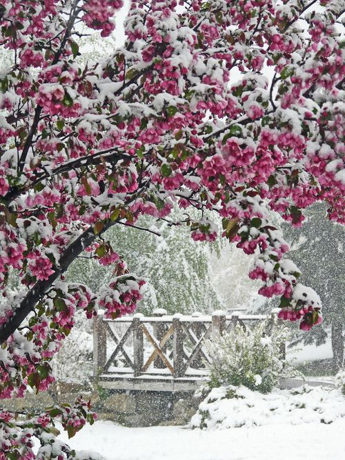 lovelyPink Flower, Cherries Blossoms, Winter Flower, Flower Trees, Snow, Winter Wonderland, Pink Blossoms, Calgary Canada