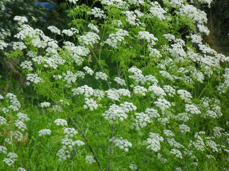 25 Best Ideas About Angelica Herb On Pinterest Angelica