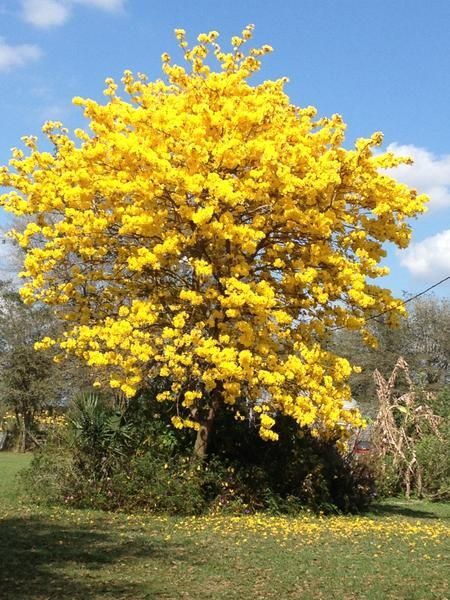 The 16 best tabebuia chrysotricha images on pinterest flowering tabebuia trees aka yellow trumpet trees mightylinksfo