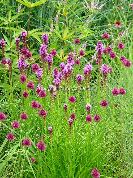 A purple-themed garden combination of the flowers of spike gayfeather (Liatris spicata) and drumstick allium (Allium sphaerocephalon [A. sphaerocephalum])