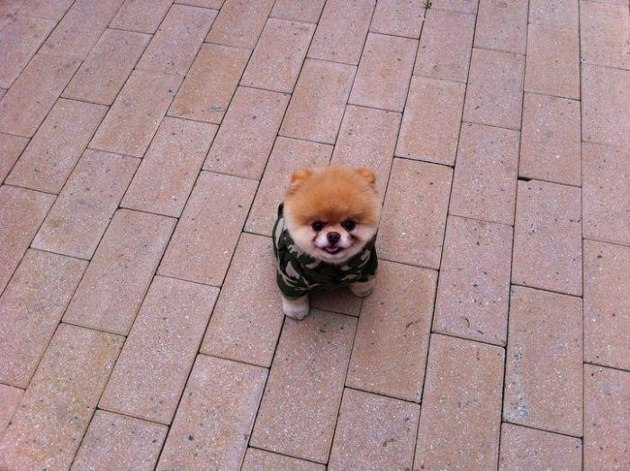 Boo On Ehka Maailman Suloisin Koira Kuvatorni Hauskat Kuvat Dog Crate Dogs Animals