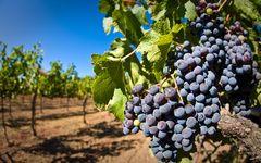 обои Виноград, виноградник, лоза, гроздь, кисть, ягоды