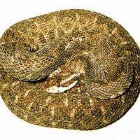 Bothrops Lanceolatus Medicamento Homeopático    Bothrops Lanceolatus para parálisis de un miembro así como afasias y para constituciones hemorragicas, lee su patogenesia completa en:    http://www.homeopata.tv/materia-medica-homeopatica/bothrops-lanceolatus/