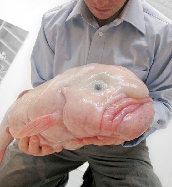Blobfish - Found in the deep seas off the coast of Australia, the Blobfish is as lethargic as it looks and sounds. While this aquatic being may look like something out of a horror film, there's no need to be scared because it's essentially a floating gelatinous mass with very little muscle. The comatose creature doesn't even bother to swim; it simply swallows whatever drifts by its mouth, making it even more sloth-like than an actual sloth.