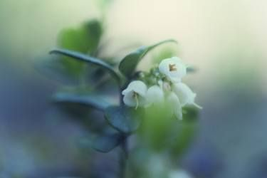 Cowberry flowers - Limited Edition 1 of 5
