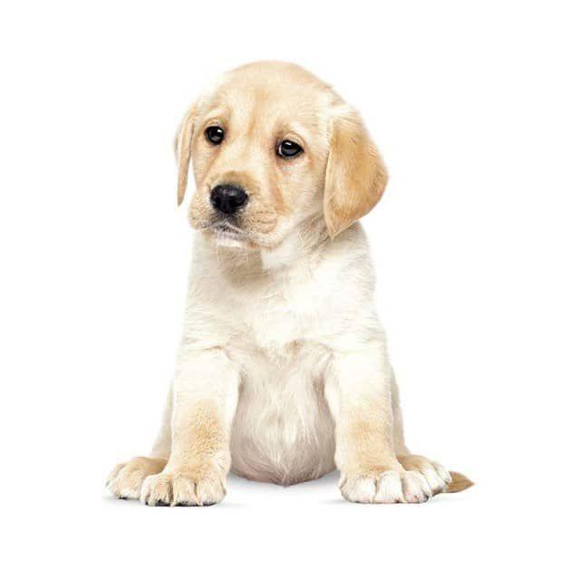 Welches Kind wünscht sich keinen Babyhund? Mit dem Wandtattoo Labrador Puppy können Sie Ihrem Liebling diesen Traum erfüllen und die knuffigen Welpenaugen bringen alle restlichen Familienmitglieder zum Schmelzen.Alle Wandsticker sind wasserfest, mit einem feuchten Tuch leicht zu  reinigen und werden mit  genauer  Anleitung und einem kleinen Spachtel zum Andrücken geliefert. Das niederländische Label KEK Amsterdam hat seinen Sitz in Nordholland in Amsterdam. Dort produzieren die Gründer mit…