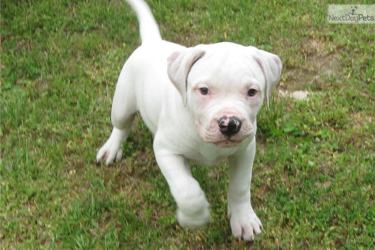 american bulldog breeders near me 1000 ideas about american bulldog for sale on pinterest 1285