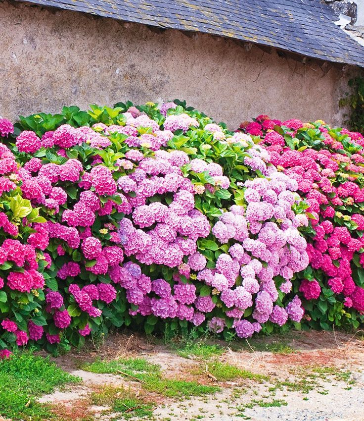 "Outdoor hydrangea hedge ""Pink-rosé"", 3 plants …"