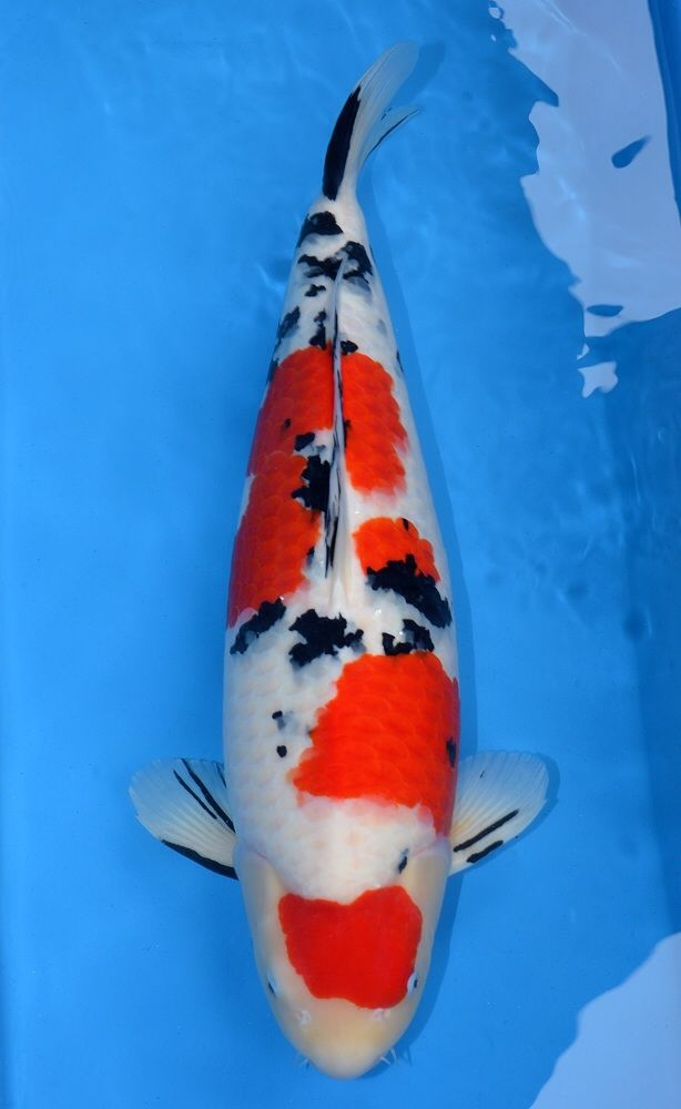 Name views 53 size 117 7 kb koi and ponds for Koi pond size