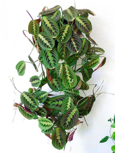 Maranta leuconeura erythroneura (Prayer plant)