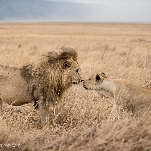 Tense meeting. A female lion cautiously approaches a large male in Ngorongoro Crater.