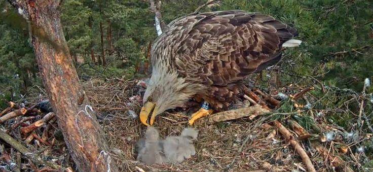 Orel mořský krmení mladých orlů, Sea Eagle feeds its young eagle
