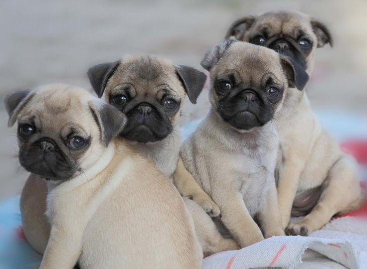 Cute Pug Puppies, oh how much I want one...