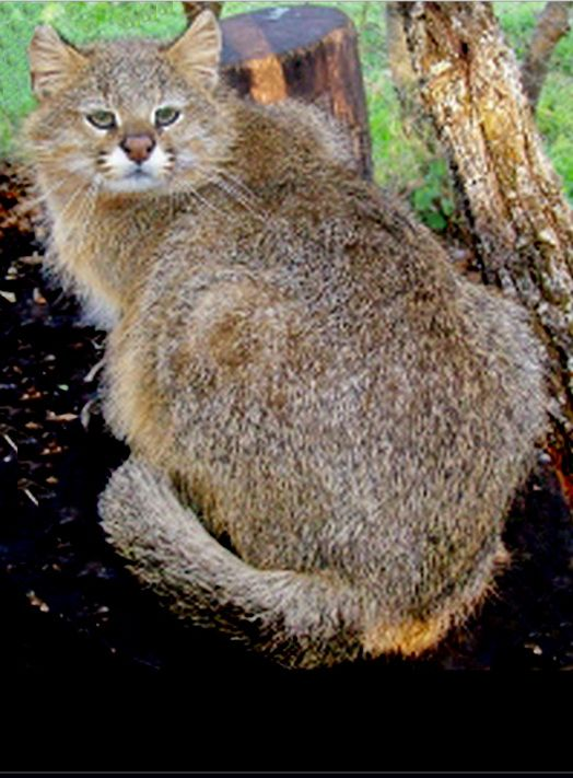 Pampas cat (Leopardus pajeros) The background colour is paler on this Pampas cat , and the body markings, stripes on the hind legs, and rings on the tail are paler and less distinct.