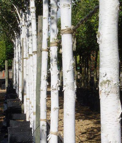 Betula utilis Jacquemontii, West Himalayan Birch beautiful white bark
