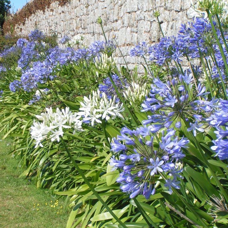 Agapanthes bleues : 2 bulbes et blanche : 1 bulbe