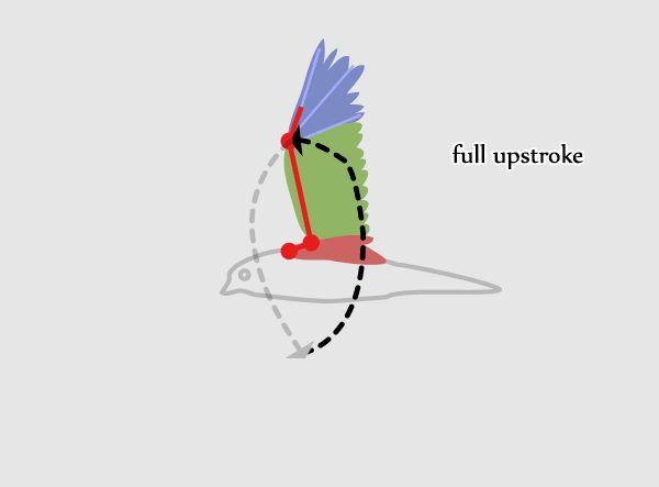 Flying bird animation cycle