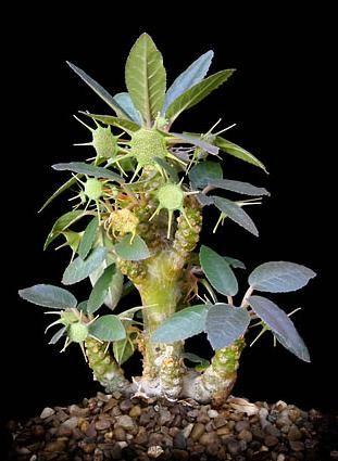 Dorstenia foetida  - Exotic Succulents