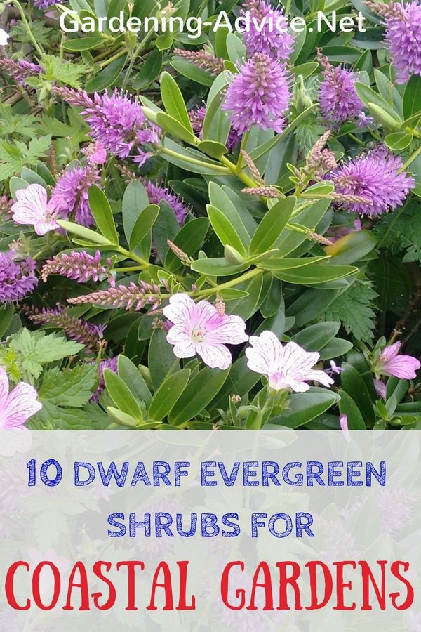 10 Dwarf Evergreen Shrubs For Coastal Gardens Dwarf Evergreen