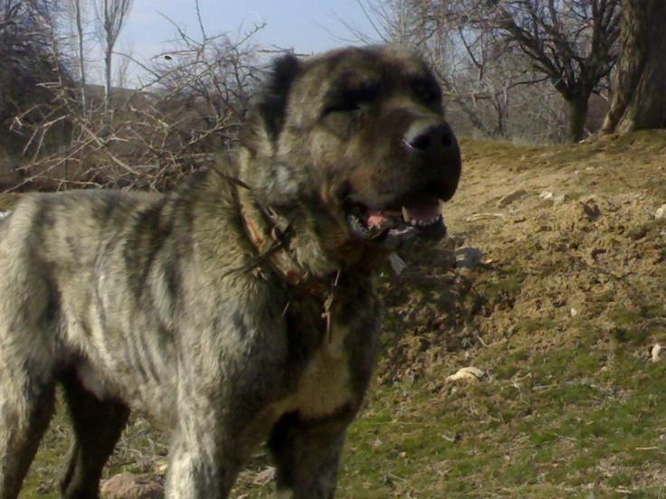pakistani mastiff - photo #33